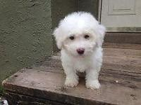 Cute Bichon Frise puppies for adoption (1 male, 1