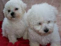 These adorable Bichon puppies are ready to go to their