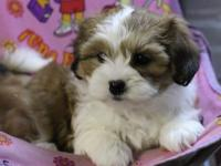 Adorable bichon shih tzu puppies are playful,friendly