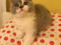 I have beautiful bicolor male kitten-2 months old. Pure