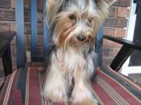 This is a great yorkie biewer. He loves to ride on the