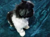 Beautiful little Black & White male Shi Tzu puppies.