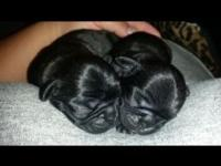 Beautiful Black Brindle Pug Puppies born October 19.
