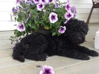Beautiful litter of small/medium sized goldendoodle