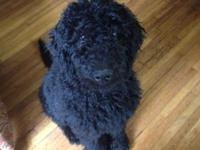 I have a litter of beautiful black F1B Goldendoodle
