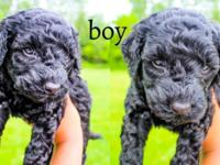 We have two adorable black F1b Goldendoodle puppies