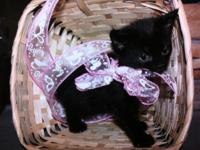 Adorable black female kitty for adoption. Born 5/22 to