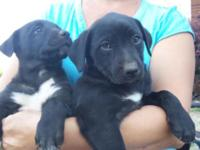 Adorable, friendly, sweet black lab mix puppies. Mother