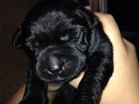 Adorable Black Lab puppies! They will be ready to go