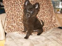 Adorable, playful and smart black Pomeranian/Chihuahua
