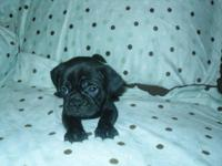 Precious Male Puggle puppy He looks more like a pug