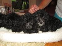 Adorable Black Male Toy Poodles. 1st & 2nd shots have