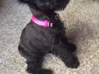 We recently purchased a baby schnauzer with tons of