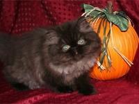 Precious black female Persian is now ready for its