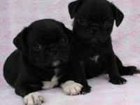 Little Fat Black Pug Puppies! Two Handsome Brothers!!
