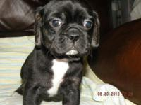We Have 1 Male 2nd Generation Puggle Puppy Available,