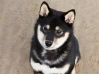 This is my baby! She's a purebred Shiba Inu that I got