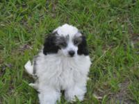 Black & & white toy male puppy is still offered. He was