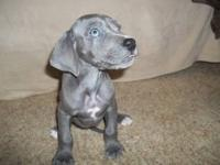 We have a liter of Blue and Mantle Great Dane puppies