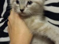 Beautiful Amazing Siamese Kitten left that Ready for