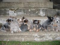 Pure bred Australian Cattle dog/blue heeler puppies