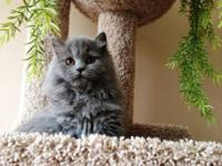 Adorable, extra fluffy Persian Kitten-- solid blue