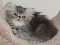 Beautiful Bi-Color Blue Tabby Female Persian Kitten.