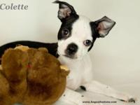 Colette is a lovable little lady. She is a Boston