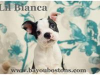 Bianca is a gorgeous little CKC Boston Terrier child