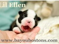 Lil Ellen such a very little Boston Terrier child lady.