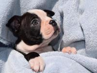 Hi, I have 1 female and 1 male Boston Terrier puppies