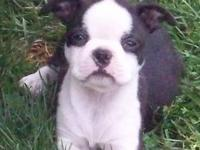 These purebred Boston Terrier male puppies turned 9