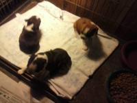 I have 3 Boston Terrier Puppies for sale. they are 6