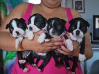7 of the most adorable boston terrier puppies they are