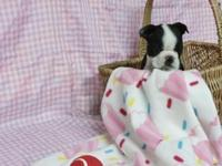 Boston Terrier Puppies: 2 male and 2 female available -