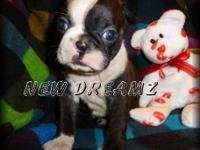 AKC Boston Terrier Parents JHC(Juvenile Hereditary