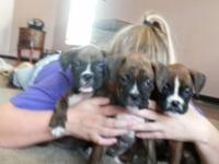3 Beautiful Boxer Babies will be 8 weeks on Oct 7,