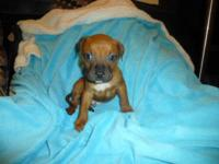 We have one adorable fighter mix puppy available. He is