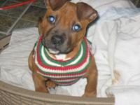 We have one cute boxer mix puppy available, he is half