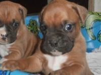 Now approving down payments ... AKC Fighter puppies