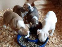 Very adorable boxer puppies born 8 weeks ago - looking
