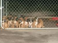 Charming 8 week aged boxer puppies! Birthed 3/11/14,