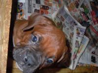2 Fawn male Boxers left. Tails docked and dew claws