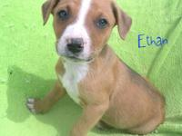 We have 5 adorable Boxer/Red Heeler mixed puppies,