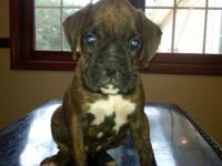 Beautiful pups 2 male brindle, 1reverse brindle female,