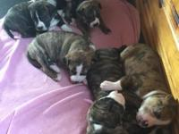 Pups were born April 28th and will have all their shots