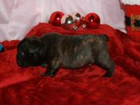 Chili: Adorable Registered Brindle Male, French bulldog