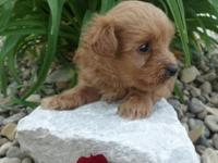 Cute little Yorkie-Poo pup. Born on 4-3-15 and will be