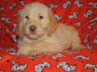 Achilles is a 7 week old caramel labradoodle. Raised in