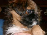 """Carley"" is a red Brussels Griffon little woman. She is"
